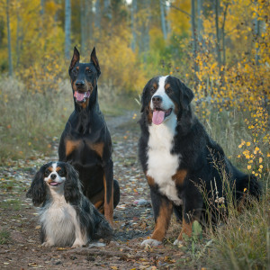 bernese mountain dog, king charles, doberman dog photography