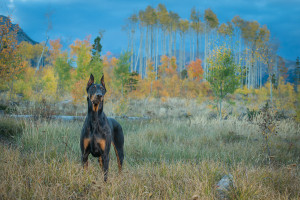 doberman photograph